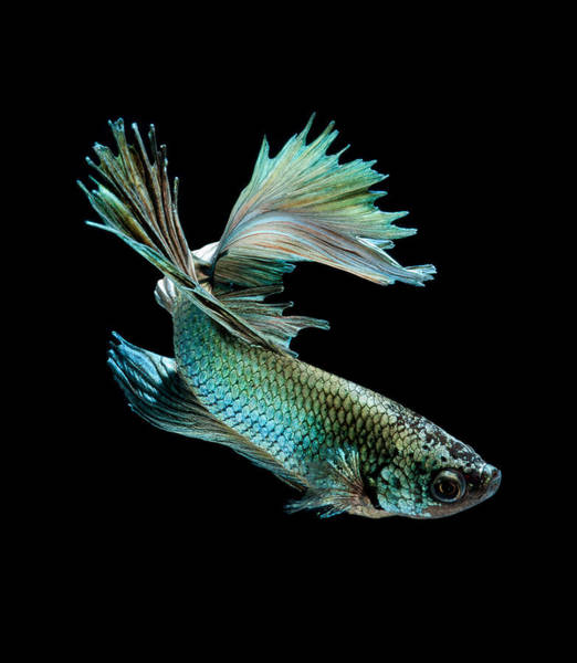 Chinese New Year Photograph - Siamese Fighting Fish On Black Background by Visarute Angkatavanich