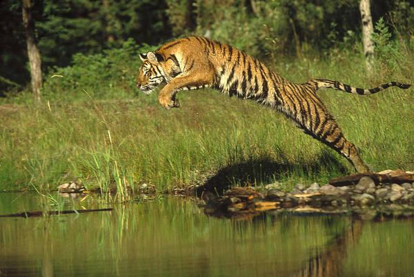 Photograph - Siberian Tiger Panthera Tigris Altaica by Tim Fitzharris