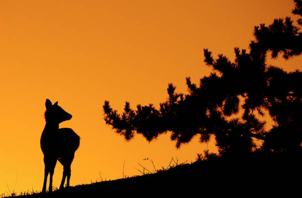 Nara Wall Art - Photograph - Silhouette Deer by Onejoshuatree