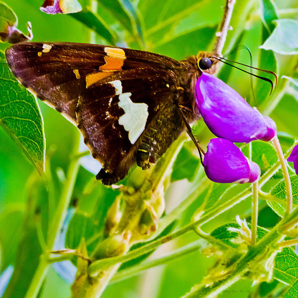 Photograph - Silver Spotted Skipper  0003 by Barry Jones