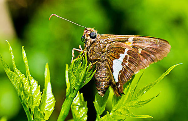 Photograph - Silver-spotted Skipper 2 by Barry Jones