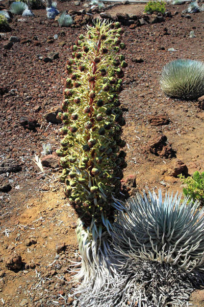 Photograph - Silversword Haleakala by Pierre Leclerc Photography
