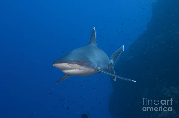 Kimbe Bay Wall Art - Photograph - Silvertip Shark, Kimbe Bay, Papua New by Steve Jones
