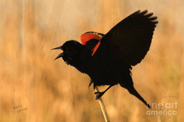 Red-winged Blackbird Photograph - Singing At Sunset by Betty LaRue