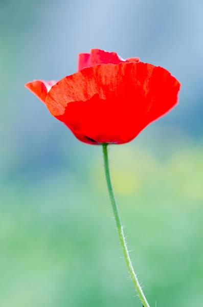 Photograph - Single Poppy by Michael Goyberg