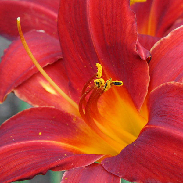 Photograph - Single Red Lily 2 by Donna Corless