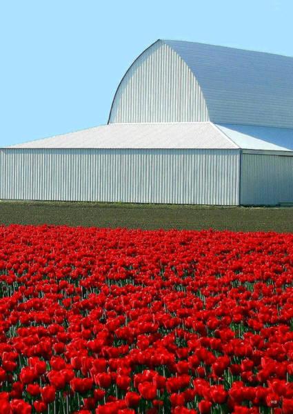 Wall Art - Photograph - Skagit Valley Tulips 5 by Will Borden