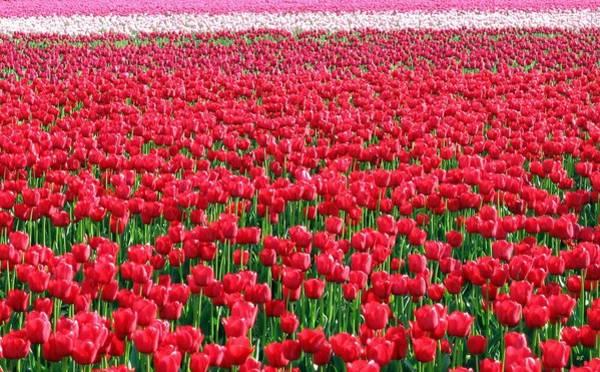 Wall Art - Photograph - Skagit Valley Tulips 6 by Will Borden