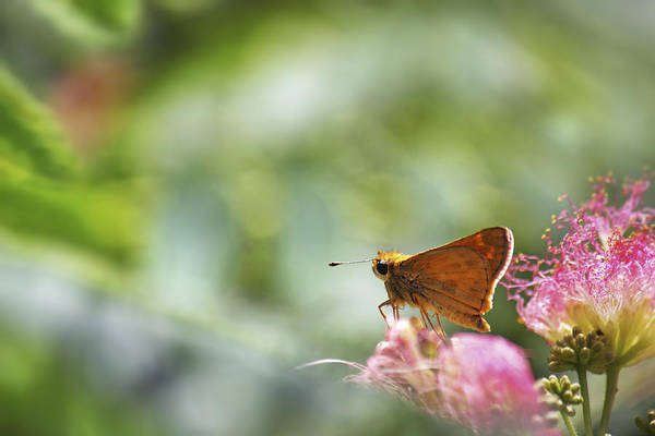 Photograph - Skipper Butterfly Dreamscape by Jason Politte
