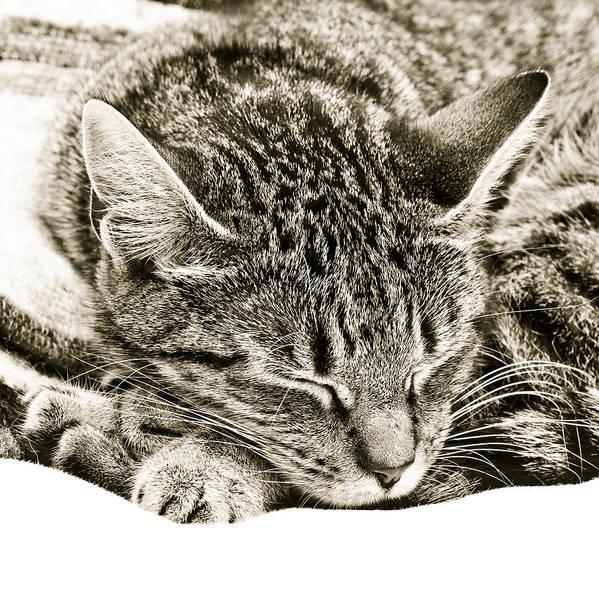 Alive Photograph - Sleeping Cat by Tom Gowanlock