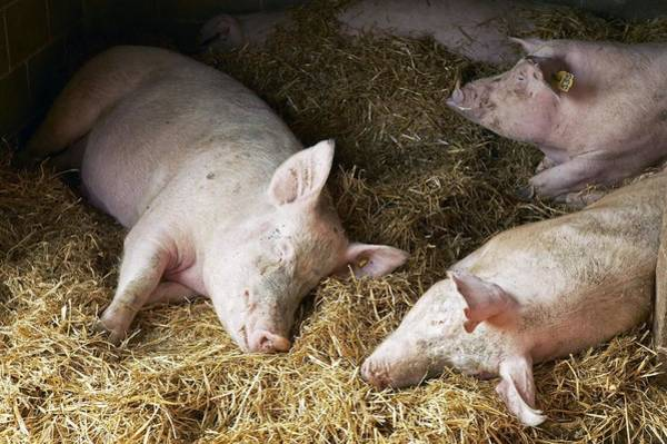 Pigpens Photograph - Sleeping Pigs by Colin Cuthbert