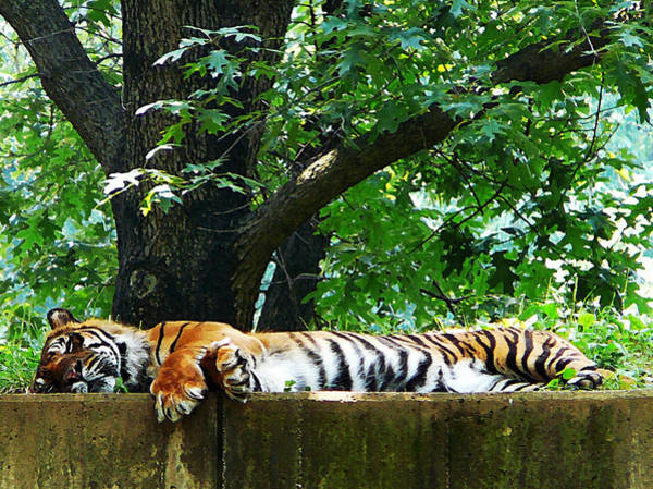 Photograph - Sleeping Tiger by Susan Savad