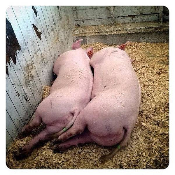 Ohio Wall Art - Photograph - Sleepy Piggies by Natasha Marco