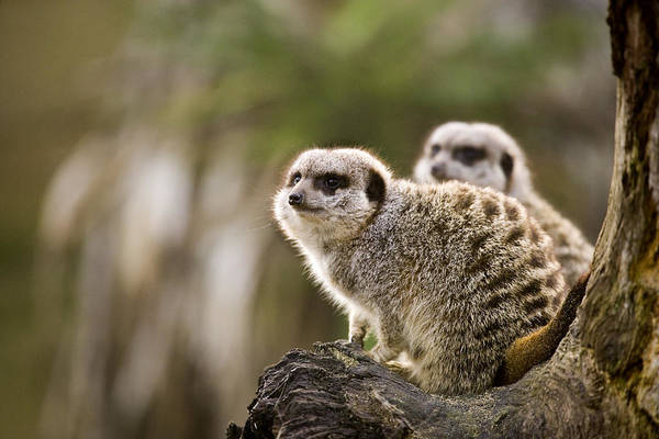 Wall Art - Photograph - Slender-tailed Meerkats by Power And Syred