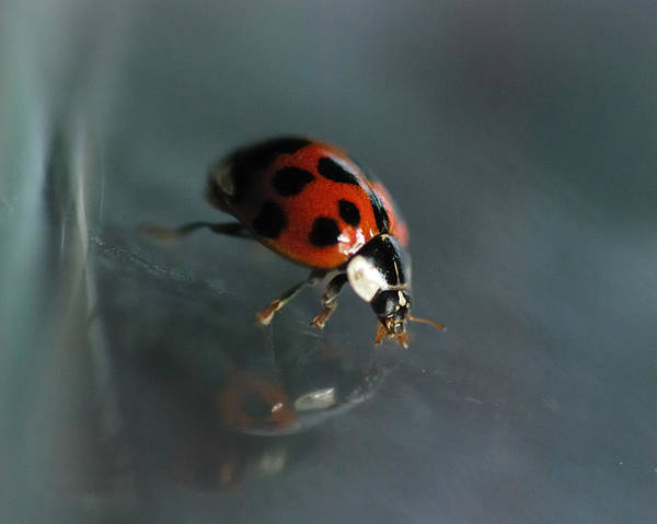 Ladybird Wall Art - Photograph - Slip And Slide by Susan Capuano