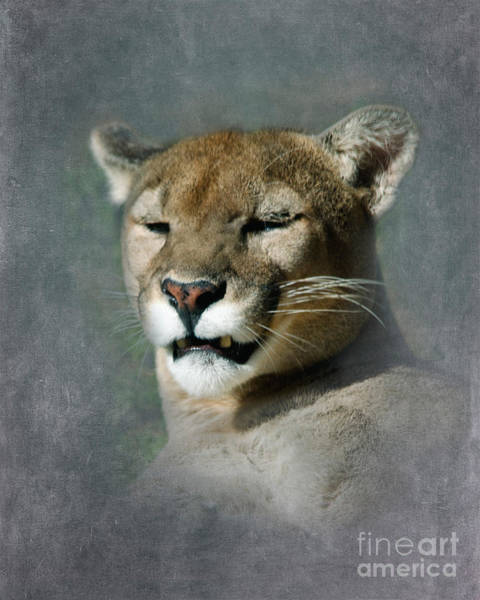 Catamount Photograph - Slumbering Mountain Lion by Betty LaRue