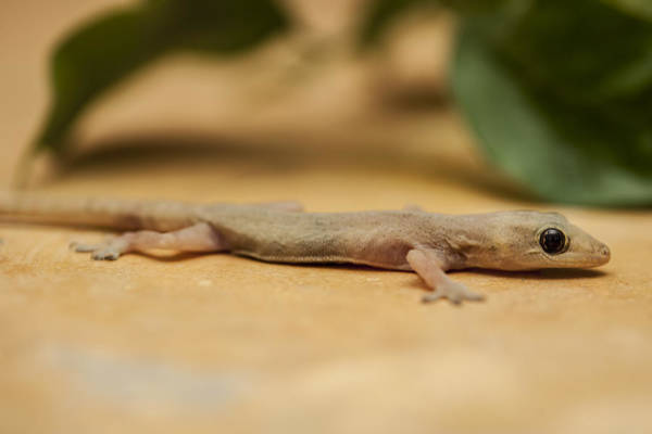 Wall Art - Photograph - Small House Gecko II by Mike Raabe