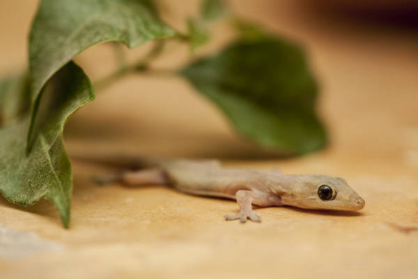 Wall Art - Photograph - Small House Gecko by Mike Raabe