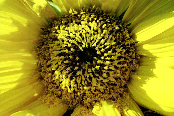 Photograph - Small Sunflower by Emanuel Tanjala