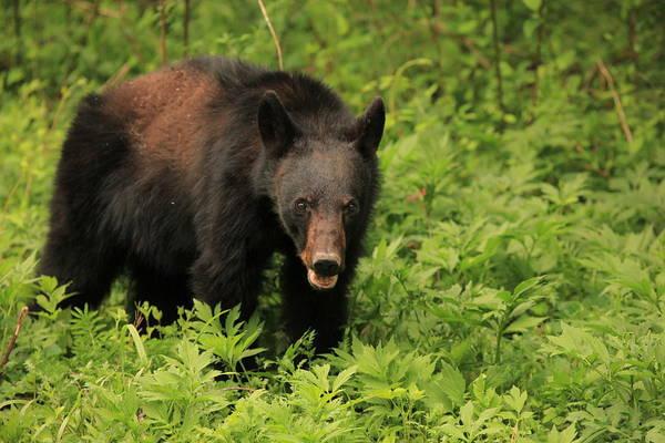 Photograph - Smoky Mountain Black Bear by Doug McPherson