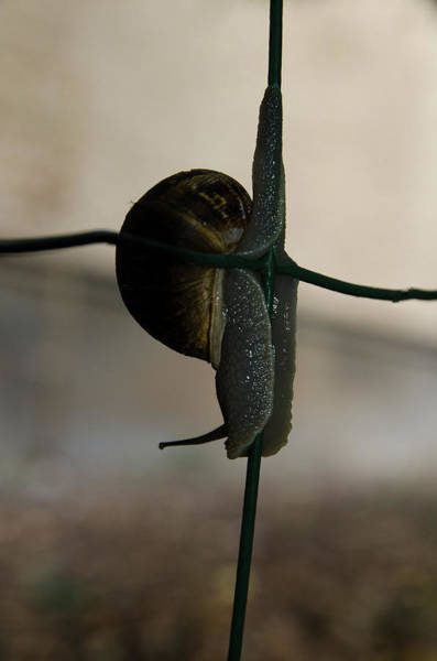 Photograph - Snail On The Fence by Michael Goyberg