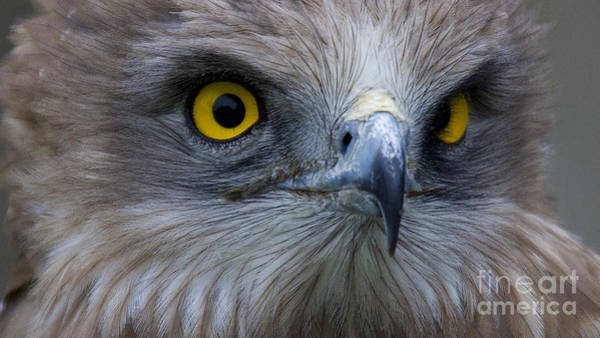 Faunal Photograph - Snake Eagle 2 by Heiko Koehrer-Wagner