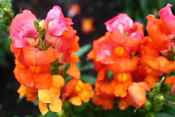 Snap Dragons Wall Art - Photograph - Snap Dragons by Catie Canetti