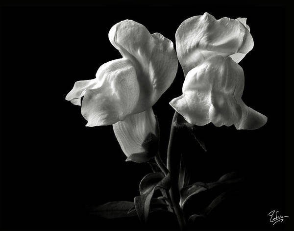 Photograph - Snapdragons In Black And White by Endre Balogh