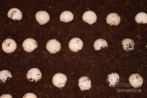 Snapping Wall Art - Photograph - Snapping Turtle Eggs by Ted Kinsman
