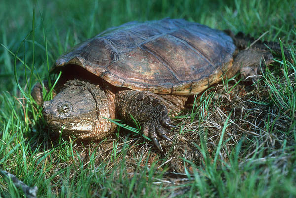 Snapping Wall Art - Photograph - Snapping Turtle by Georgette Douwma