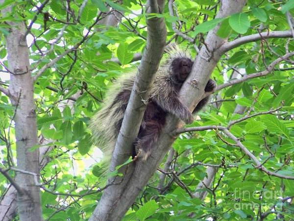 Photograph - Snoozing Porcupine by Charles Robinson