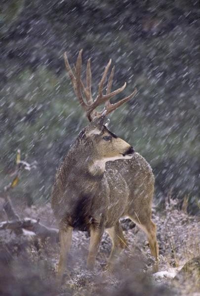 Photograph - Snow Buck by D Robert Franz