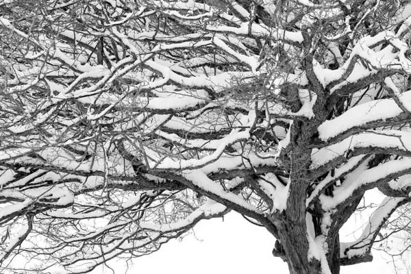 Photograph - Snow Covered Tree Branches by Randall Nyhof