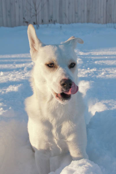 Photograph - Snow Dog 0249 by Guy Whiteley