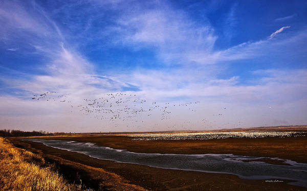 Photograph - Snow Geese At Rest by Edward Peterson