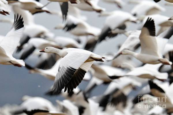 Photograph - Snow Geese Launch by Craig Leaper