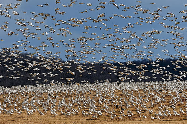 Photograph - Snow Geese  by William Jobes