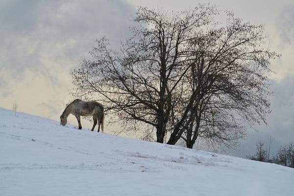 Washougal Photograph - Snow Grazer by Betty Huddleston