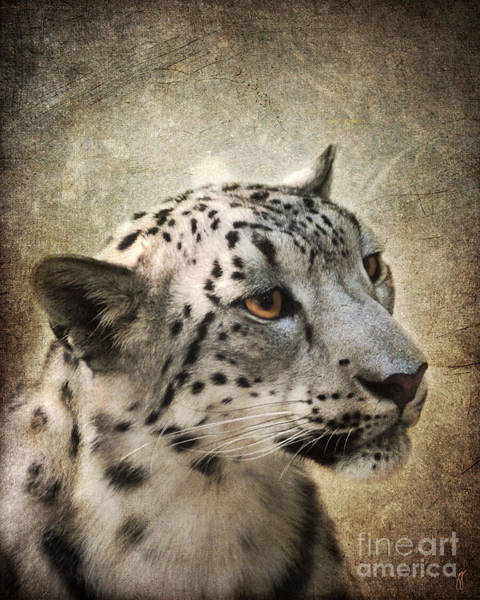 Photograph - Snow Leopard Portrait by Jai Johnson