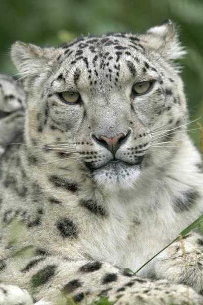 Photograph - Snow Leopard Uncia Uncia Portrait by Cyril Ruoso