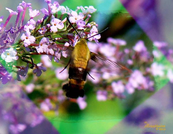 Hemaris Photograph - Snowberry Clearwing Hummingbird Moth  by Ericamaxine Price