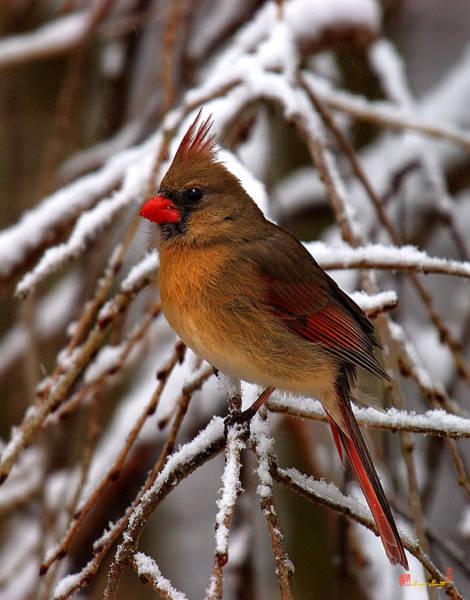 Photograph - Snowbirds--cardinal Dsb025 by Gerry Gantt