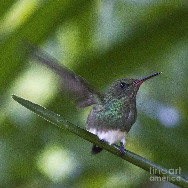 Photograph - Snowy Bellied Hummingbird by Heiko Koehrer-Wagner