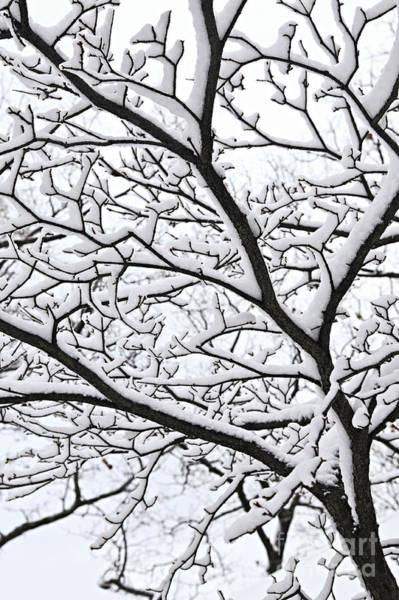 Wall Art - Photograph - Snowy Branch by Elena Elisseeva