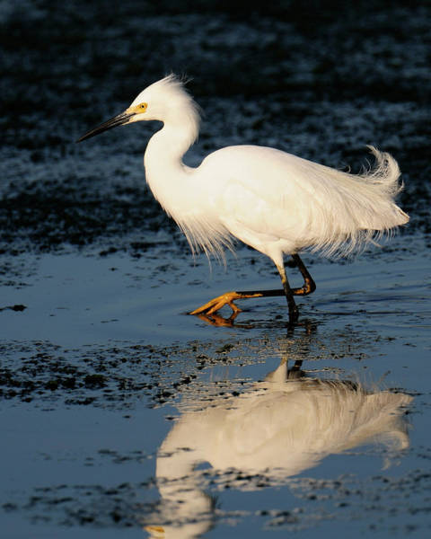 Photograph - Snowy Egret by Craig Leaper