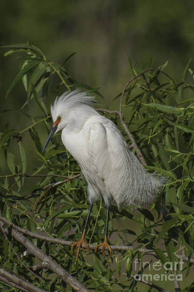 Photograph - Snowy Egret In Breeding Plumage by David Waldrop