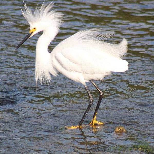 Egret Photograph - Snowy Egret #northshore #sunkenmeadow by Lisa Thomas