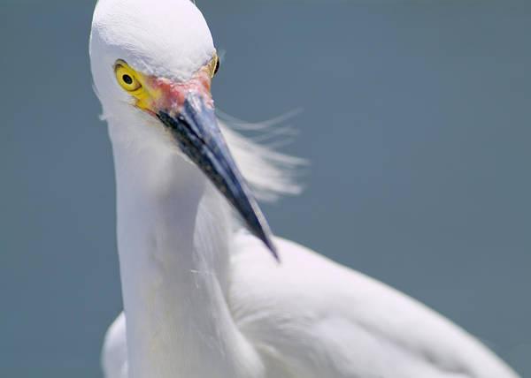Photograph - Snowy Egret by Patrick M Lynch