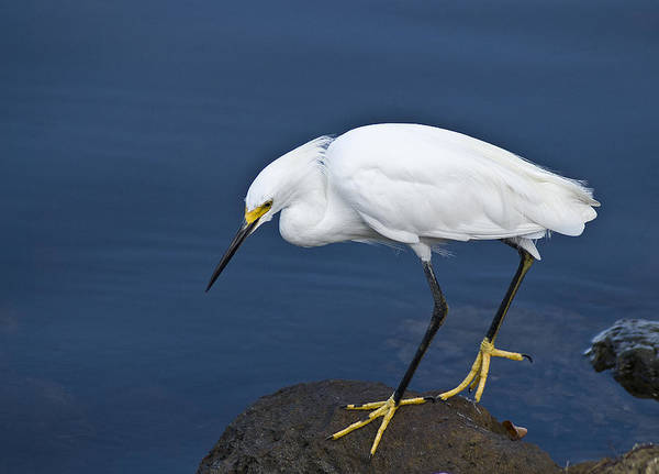 Photograph - Snowy Egret by Rick Hartigan