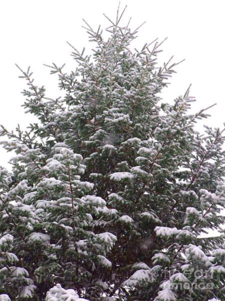 Photograph - Snowy Evergreen Photograph by Kristen Fox